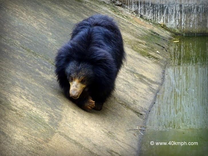 Sloth Bear at NANDANKANAN Zoological Park, Bhubaneshwar, Odisha
