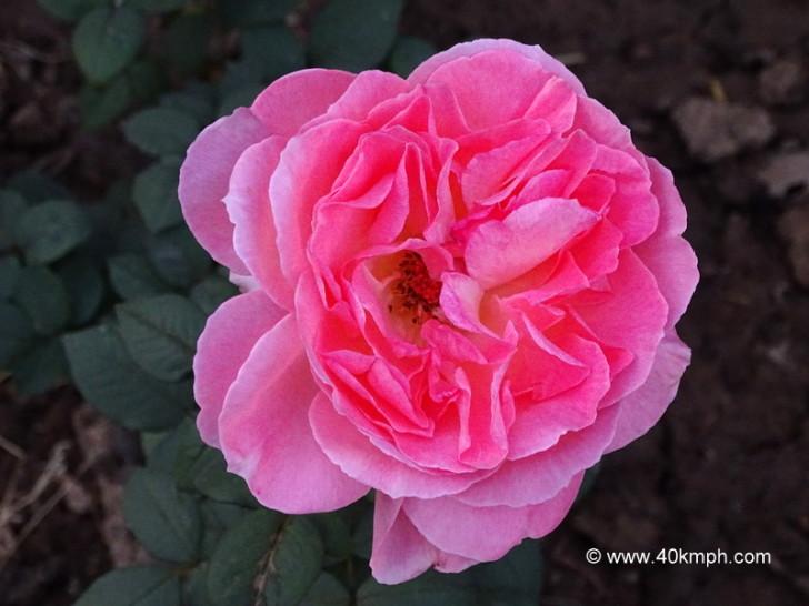 Comtesse De Provence