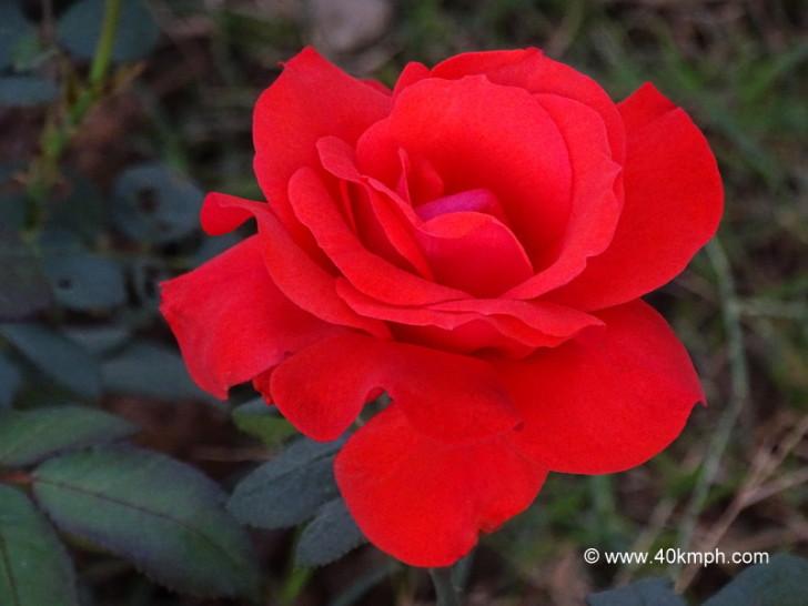 Fadelo Rose