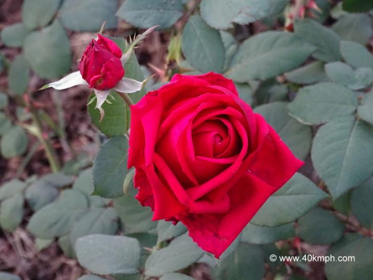 Klaus Rose for Love & Romance