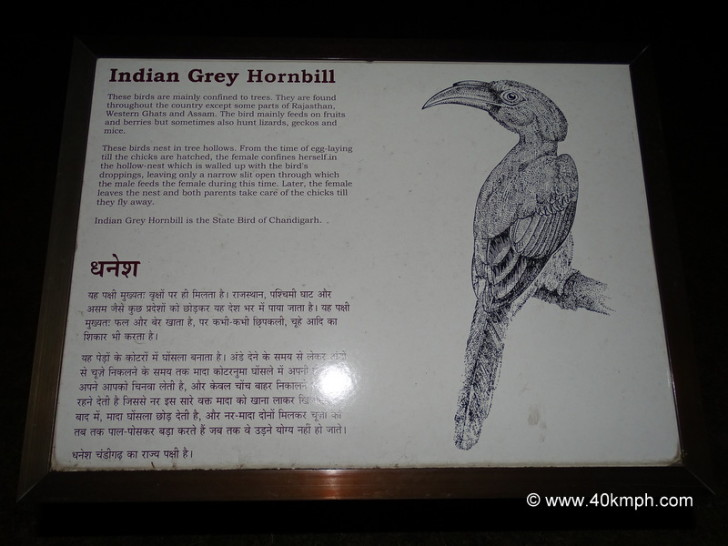 Indian Grey Hornbill - State Bird of Chandigarh