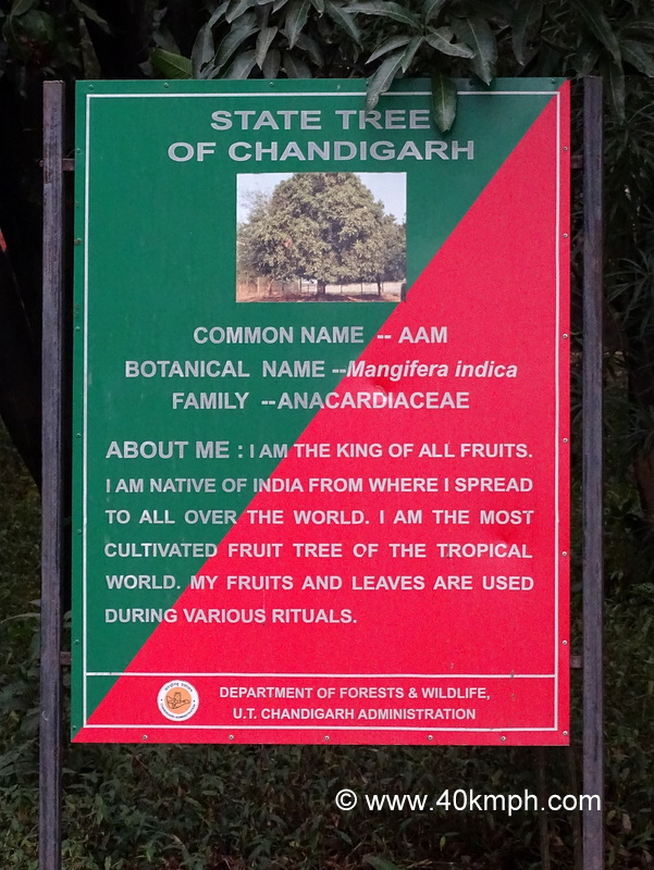 Mango - State Tree of Chandigarh