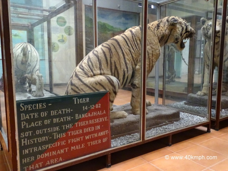 This Tiger Died in Fight with Another Male Tiger