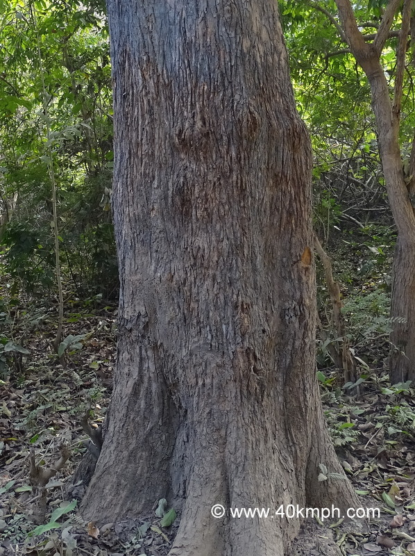 Tiger Claw Marks on a Tree to Establish Territory