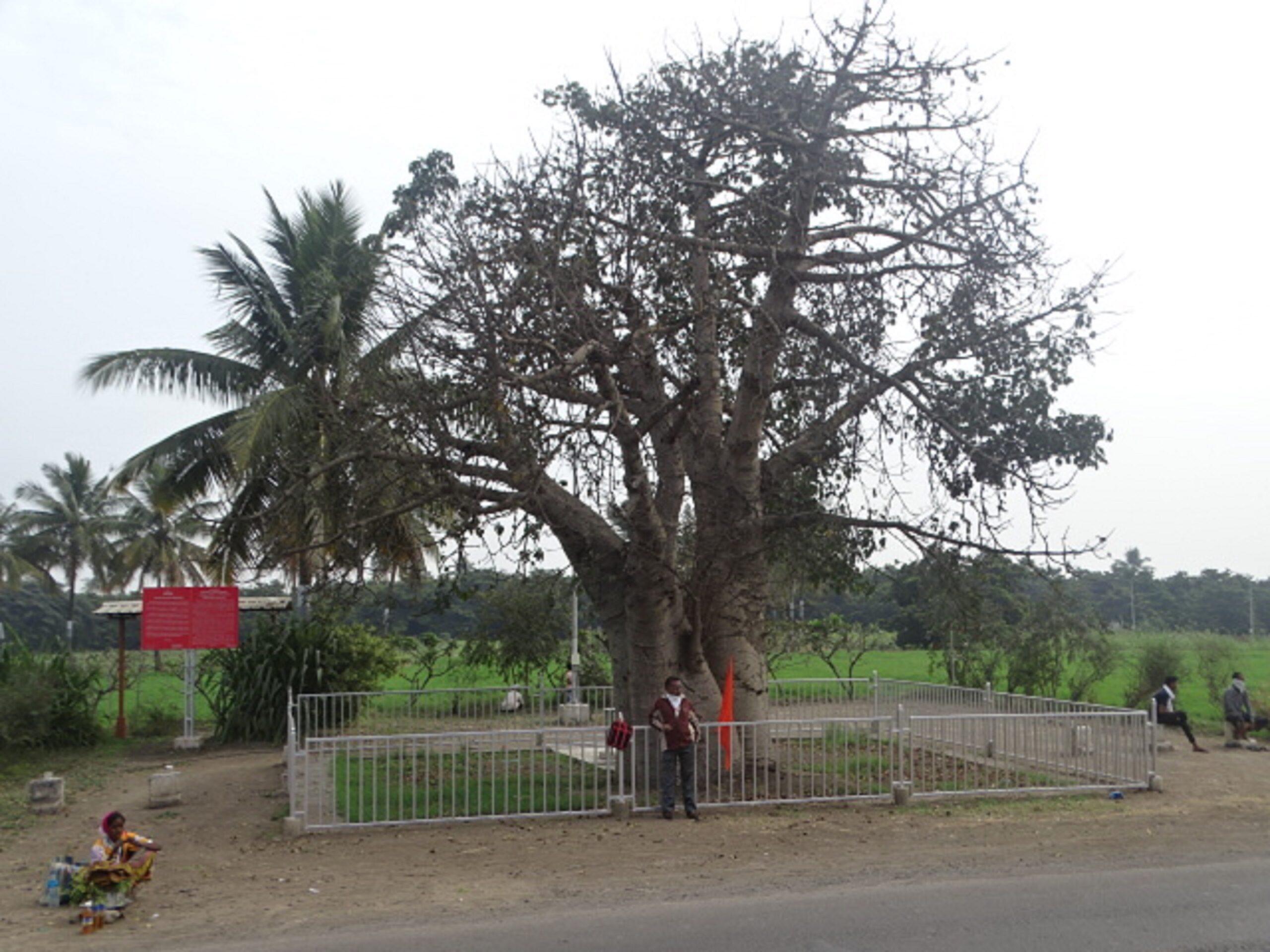 A Wishing Tree - A Panacea (A Kalpavriksha or Kalpataru), Nagar-Manmad Road, Shirdi, Maharashtra, India