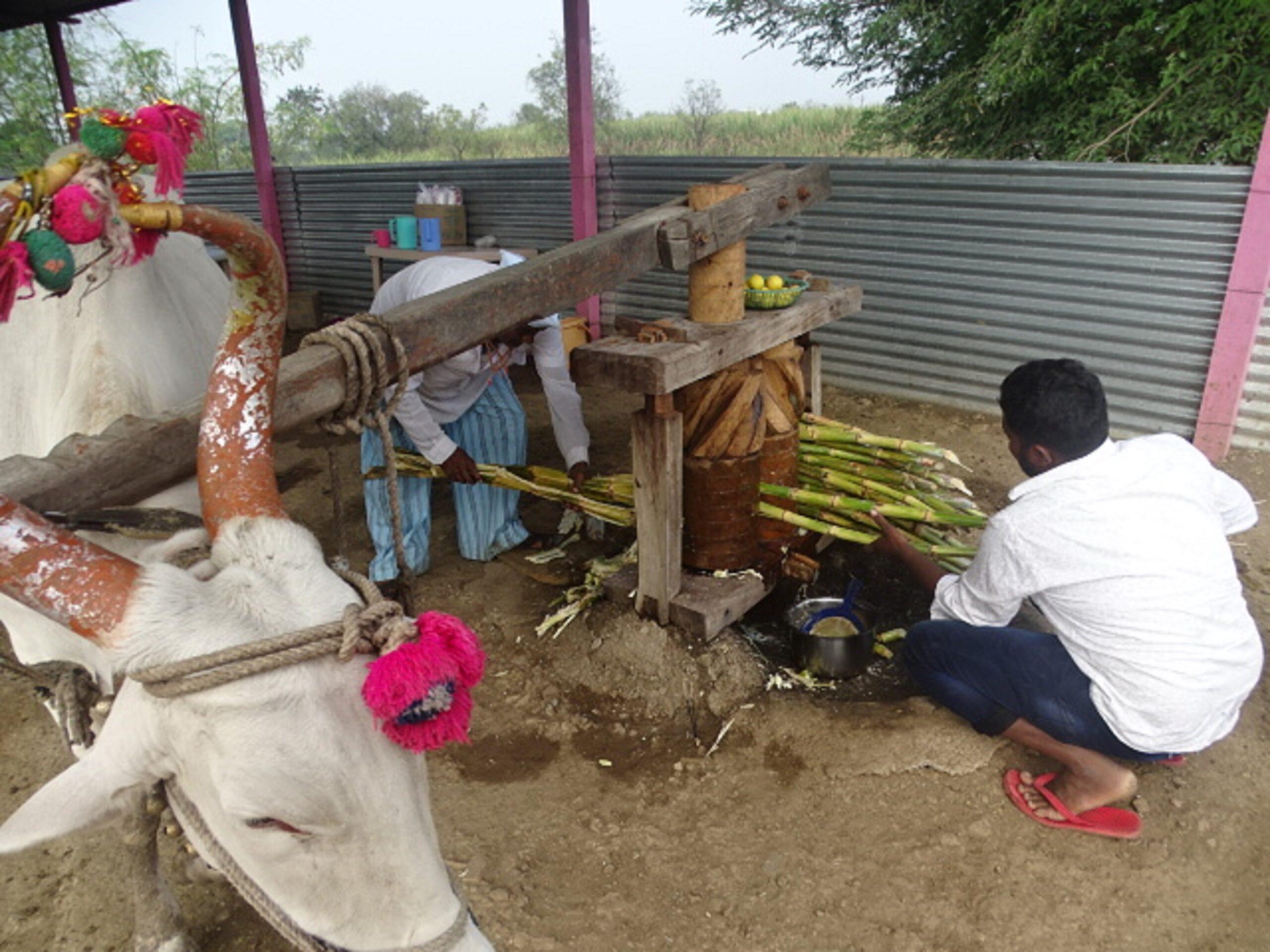 Kolhoo ka Bail for Sugarcane Juice at Umbre Village, Ahmednagar, Maharashtra, India